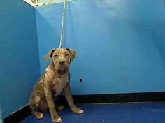 SUPER URGENT 5/23/13 Manhattan Center  BENTLY - A0966150  MALE, GRAY, AM PIT BULL TER MIX, 1 yr surrendered due to cost  Please share Bentley far and wide so that he can find someone who will give the love and attention he deserves  https://www.facebook.com/photo.php?fbid=614986778514205=a.172404072772480.42595.152876678058553=1 Please click on pic for additional info on this dog