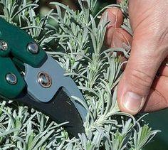 How to prune lavender to make it last longer. Gardening tips from Rustica. Herb Garden, Garden Tools, Lavender Planters, Organic Gardening, Gardening Tips, Gardening Zones, Garden Online, Outdoor Pots, Gardening Magazines