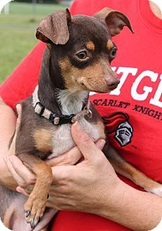 Bridgewater, NJ - Chihuahua Mix. Meet Darci, a dog for adoption. http://www.adoptapet.com/pet/11236783-bridgewater-new-jersey-chihuahua-mix