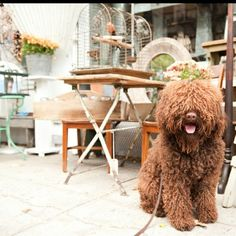 French water dog barbet tug in NYC stacy-able-photography