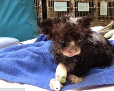 In Philadelphia, The SPCA is encouraging anyone with information about the kitten, male, aged 4-to-5 weeks, who was burned near McPherson Square Park to contact the proper authorities  Read more: http://www.dailymail.co.uk/news/article-2315256/Kitten-fighting-life-set-left-park.html#ixzz2g6iKO5x4  Follow us: @MailOnline on Twitter | DailyMail on Facebook