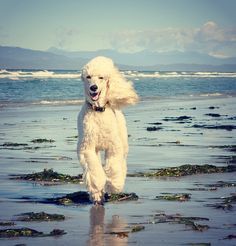 This doggie looks oh-so-free!  He's smiling! :D  #dogs #poodles