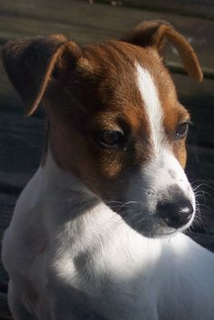 Jack Russell Terrier, this looks so much like my little Ellie Mae!