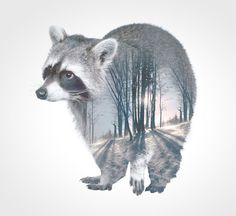 Raccoon Animal Double Exposure Plywood Print - Faunascapes by WhatWeDo Illustrations, Graphic Illustration, Pixel Tattoo, Lightroom, Pet Raccoon, Animal Silhouette, Poster Prints, Art Prints, Posters