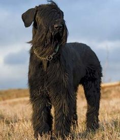 Giant Schnauzer breed info,Pictures,Characteristics,Hypoallergenic:Yes Schnauzers, Schnauzer Breed, Standard Schnauzer, Giant Schnauzer, Giant Dogs, Big Dogs, I Love Dogs, Dogs And Puppies, Schnauzer Gigante