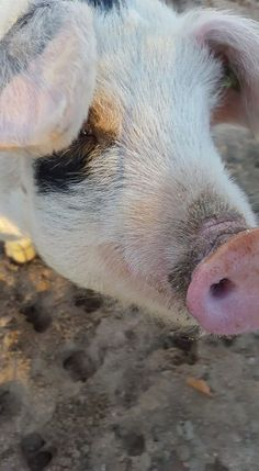This cutie is the newest addition to our Children's Farm. Olive Oyl is a Gloucestershire old spot pig.