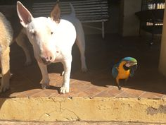Bull terrier and Macaw