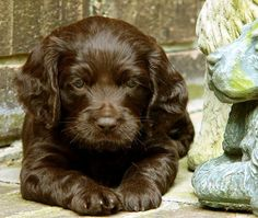 Boykin | Both male and female Boykin Spaniels weigh 25 to 40 pounds.