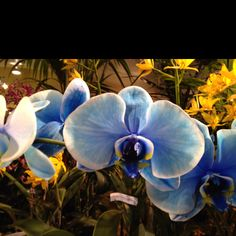 My favorite Orchid at the Santa Barbara Orchid Show 2012