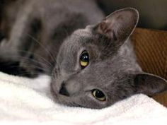 GRACIE is an adoptable Russian Blue Cat in Brooklyn, NY.  ...