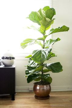 Fiddle Leaf Fig Tree - plants in my living room. Choosing house plants creates an airy atmosphere and a more natuiral look. #FashionYourHome