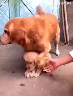 Maternal care, # care # maternal Source by gabrielekarinn dog dog memes dog videos videos wallpaper dog memes dog quotes dogs dogs pictures dogs videos puppies puppy video So Cute Baby, Cute Babies, Cute Funny Dogs, Cute Funny Animals, Adorable Dogs, Cute Animal Videos, Cute Animal Pictures, Cute Puppy Videos, Funny Dog Videos