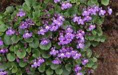 CYMBALARIA pallida (Linaria) - Torskemund, farve: lilla, lysforhold: sol/halvskygge, højde: 5 cm, blomstring: maj - august, god til bunddække.