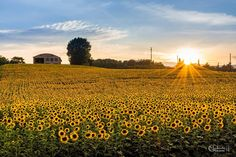 SELECTION OF THE DAY by #Expo #FineArt #Photography Sunflowers at Sunset, Pontecchio (BO) - 2014 Photo © Giovanni Modesti #Nature