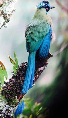 Rainbow-Bearded Thornbill, found in Colombia, Ecuador, Peru