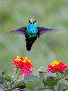 Lantana and hummingbird
