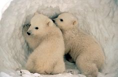 Baby Polar bears!
