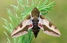 Moth Caterpillar, Hawk Moth, Beautiful Butterflies, Conservation, Habitats, Perennials, Butterfly, Fashion Site, Tapestries