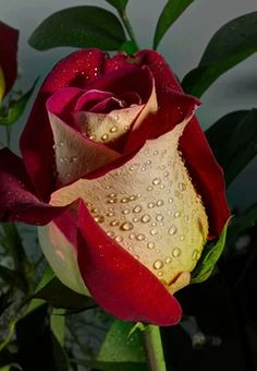 Indoor Gardening Quick, Clean Up, And Pesticide Free - Make Your Own Rosa Rose Beautiful Rose Flowers, Pretty Roses, Love Rose, Exotic Flowers, Amazing Flowers, My Flower, Beautiful Flowers, Yellow Roses, Red Roses