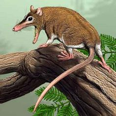 "Art illustration - Prehistoric Mammals - Sinodelphys: (""opossum Chinese"") is an extinct genus of metaterios mammals that lived in Liaoning Province in China. In fact, it is the oldest marsupial, more than any marsupial that lived in North America. Only one kind described, Sinodelphys szalayi, which existed 130 million years ago."