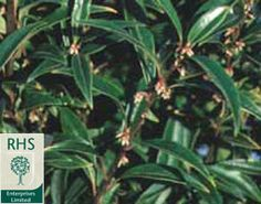 'humilis' - Very fragrant, dainty white flowers on this dwarf evergreen shrub: Delivery by Crocus Dwarf Evergreen Shrubs, White Flowering Shrubs, Shade Garden, Garden Plants, Spring Flowers, White Flowers, Green Leaves, Plant Leaves, Mixed Border