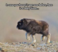 Cute adorable creatures and furry animals. Baby bison