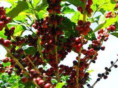 Distintas clasificaciones del café