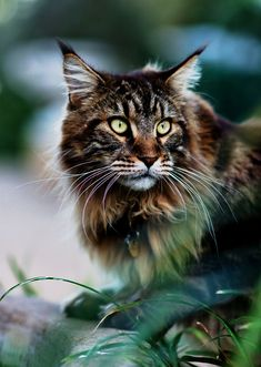 Maine Coon cat - so pretty, yet reminds me of Thriller!!