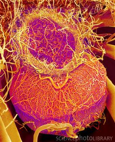 Pituitary gland blood vessels