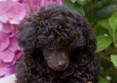 Tiny Toy Poodle, Toy Poodle Puppies, Toy Poodles, Teacup, Toronto, Dog, Pets, Animals, Diy Dog