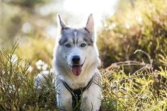 Siberian Sunset (the husky wants to play, not pose) / / Torgeir Fotland I Love Dogs, Cute Dogs, Alaskan Husky, Pets 3, Dog Travel, Dogs And Puppies, Doggies, Dog Photos, Belle Photo