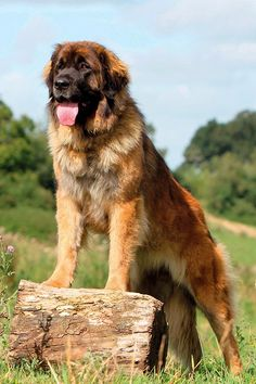 Giant Dog Breeds, Giant Dogs, Cute Dogs Breeds, Large Dog Breeds, Massive Dog Breeds, Cute Big Dogs, Cute Dogs And Puppies, Very Big Dog, Doggies