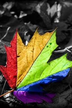 Black And White Leaves Maple Leaf Color Splash Fallen Wallpaper High Quality Wallpapers Definition