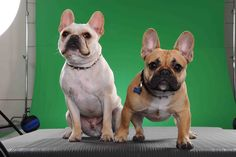 Our next frenchie color the fawn/red with black mask