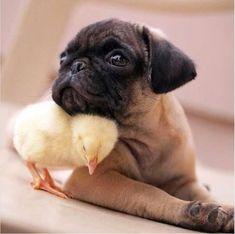 pug and chic #pug and chick