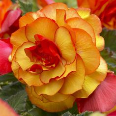 Begonia Picotee Yellow. Light up a shady garden with these radiant two-tone begonias. The canary yellow petals are delicately outlined in scarlet red, which adds warmth.
