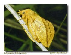 https://flic.kr/p/dDDzxe   Lasiocampidae - Euthrix potatoria   Lasiocampidae - Euthrix potatoria