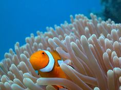 Clownfish Fact: The friendship between Anemone and Clownfish is something that can withstand the test of time, providing each other with food, protection and a house cleaning service to envy.
