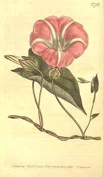 7714 Calystegia sepium (L.) R. Br. [as Convolvulus sepium L.]  / Curtis's Botanical Magazine, vol. 19: t. 732 (1804) [S.T. Edwards]