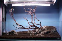 A beautiful start Fish Aquarium Decorations, Aquarium Fish, Aquarium Aquascape, Aquascaping, Red Cherry Shrimp, Amazing Aquariums, Manzanita Branches, Nano Tank, Cichlids