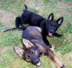 german-shepherd-puppies-4550-vom-banach-k9