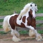 Gypsy Horse Info, Origin, History, Pictures | Horse Breeds Information & Pictures