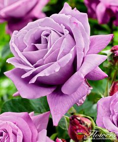 Awesome looking rose