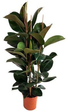 Ficus Elastica, Media Sombra, Planting Flowers, Plants, Garden, Sun, Green Plants, House Plants Decor, Irrigation