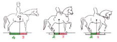 Abbildung 6: CG= Schwerpunkt. Je nach Haltung des Pferdes nehmen Vorder- und Hinterhand unterschiedlich viel Last auf. Pferd: 450 kg, Reiter: 75 kg Bild 1:Gewicht auf den Hinterbeinen: 225 kg, d.h. 3/7Gewicht auf den Vorderbeinen: 300 kg, d.h. 4/7 Bild 2: • Verkürzung der Stützbasis von hinten: 2/7 Gewicht auf den Hinterbeinen: 315 kg Gewicht auf den Vorderbeinen: 210 kg • zusätzlich Aufrichtung des Halses: ca. 20 kg weniger Gewicht auf den Hinterbeinen: 325 kg Gewicht auf den ...