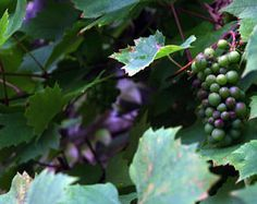 Grapes growing naturally in Hallstatt, Germany .grapes. wine. nature. purple. green. leaves.