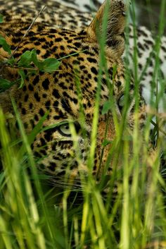 Leopard. BelAfrique your personal travel planner - www.BelAfrique.com