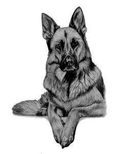"The #German #Shepherd sketch ~ 11x14"" piece done in graphite pencil by #pet portrait artist Genevieve Schlueter. Visit http://www.gensart.net to see more of her work."
