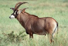 Roan Antelope - The body colour is overall fawn, with the lower parts of the legs dark brown to black. The distinctive black and white facial markings are characteristic features of this species. They have long pointed ears.