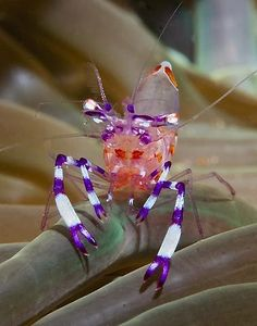 Anemone Shrimp, purple and white banded legs, pinkish body. From Anilao, Batangas, Philippines.: